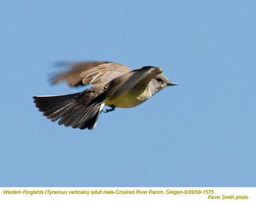 WesternKingbirdsM1575