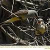 Western Kingbirds A&J25333