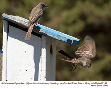 Ash-throated Flycatchers P27137