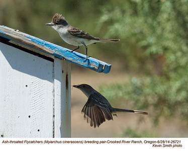 Ash-throated Flycatchers P26721