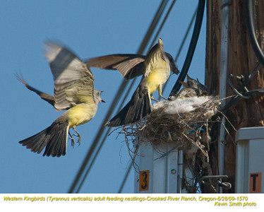 WesternKingbirdsA&N1570