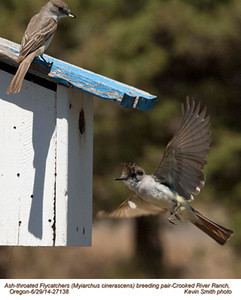 Ash-throated Flycatchers P27138