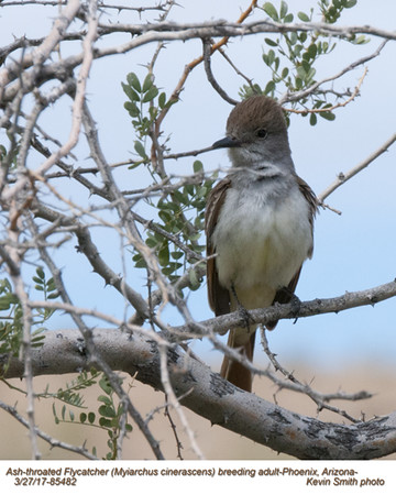 Ash-throated Flycatcher A85482