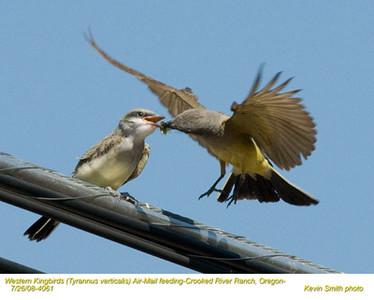 WesternKingbirdsA&J4061