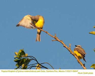 TropicalKingbirdsP59647
