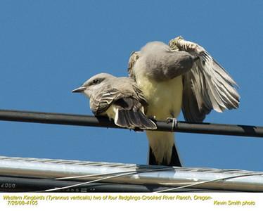 WesternKingbirdsJ4105