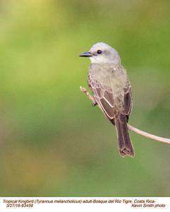 Tropical Kingbird A83459