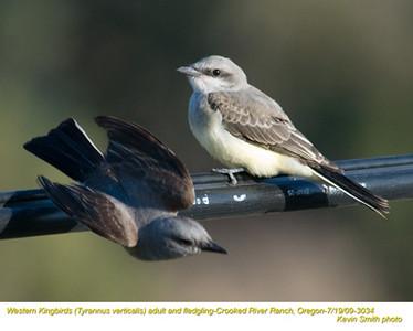 WesternKingbirdsA&J3034