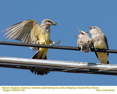 WesternKingbirdsA&J4138