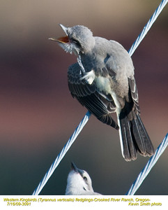 WesternKingbirdsJ3091