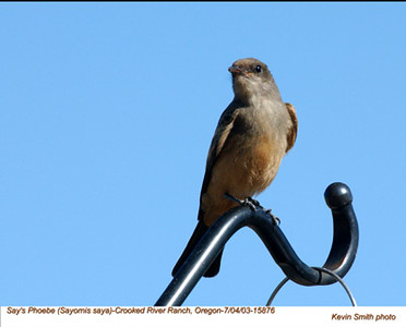 Say'sPhoebe15876