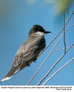 EasternKingbird55156
