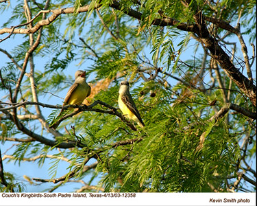 Couch'sKingbirds12358