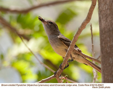 Brown-crested Flycatcher A85621