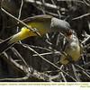 Western Kingbirds A&J25323