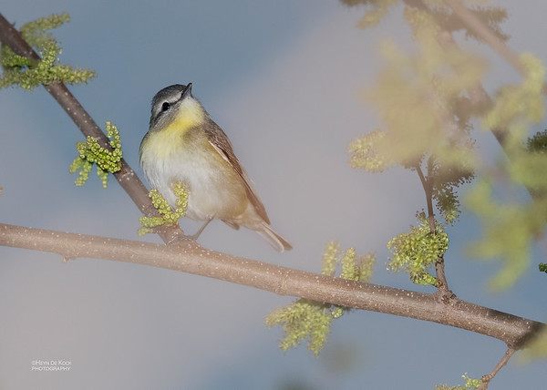 Philadelphia Vireo, Standing Bear Lake, NE, USA, May 2018-1
