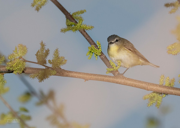 Philadelphia Vireo, Standing Bear Lake, NE, USA, May 2018-2
