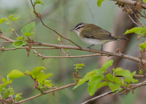 Red-eyed Vireo, Standing Bear Lake, NE, USA, May 2018-1