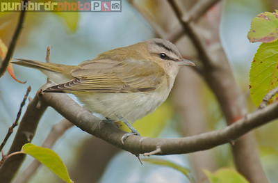 Red-eyed Vireo (Vireo olivaceus)
