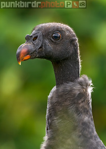 King Vulture juvenile (Sarcoramphus papa)