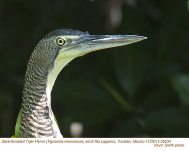 Bare-throated Tiger-Heron A59234