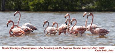 AmericanFlamingos59391