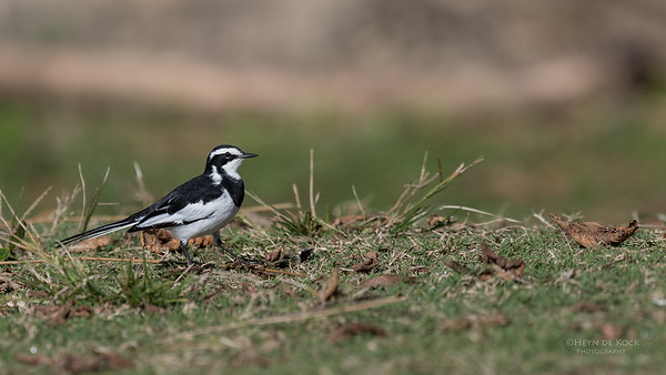 African Pied Wagtail, Mtunzini, KZN, South Africa, May 2017-2