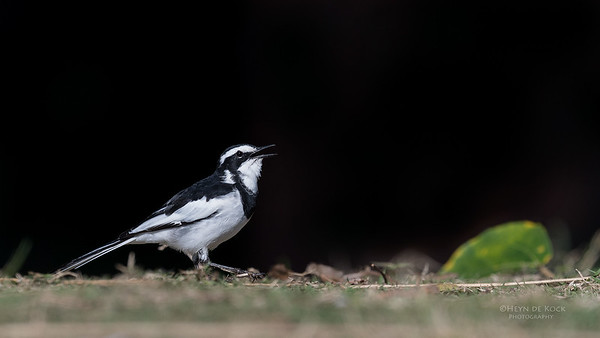 African Pied Wagtail, Mtunzini, KZN, South Africa, May 2017-1
