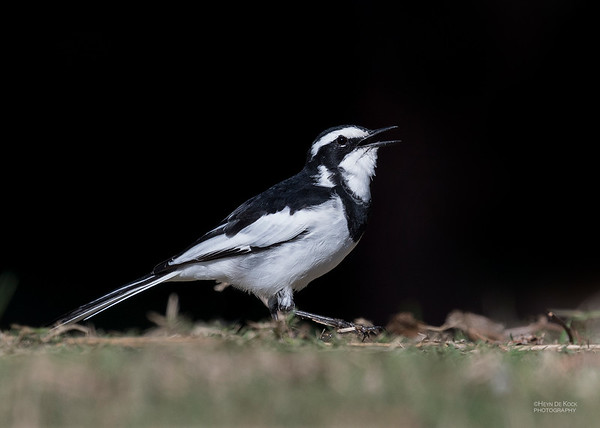 African Pied Wagtail, Mtunzini, KZN, South Africa, May 2017-1a