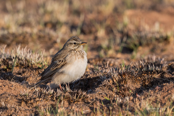 African Pipit, Dullstroom, MP, SA, Oct 2016-2
