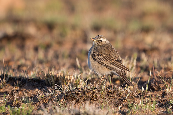 African Pipit, Dullstroom, MP, SA, Oct 2016-1