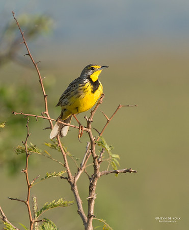 Yellow-throated Longclaw, Hluhluwe-Imfolozi NP, KZN, SA, Jan 2014