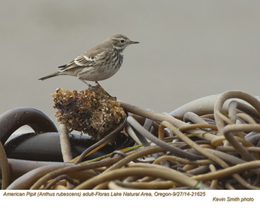 American Pipit A21625