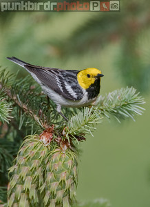 hermit warbler (setophaga occidentalis)