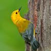 prothonotary warbler (protonotaria citrea)