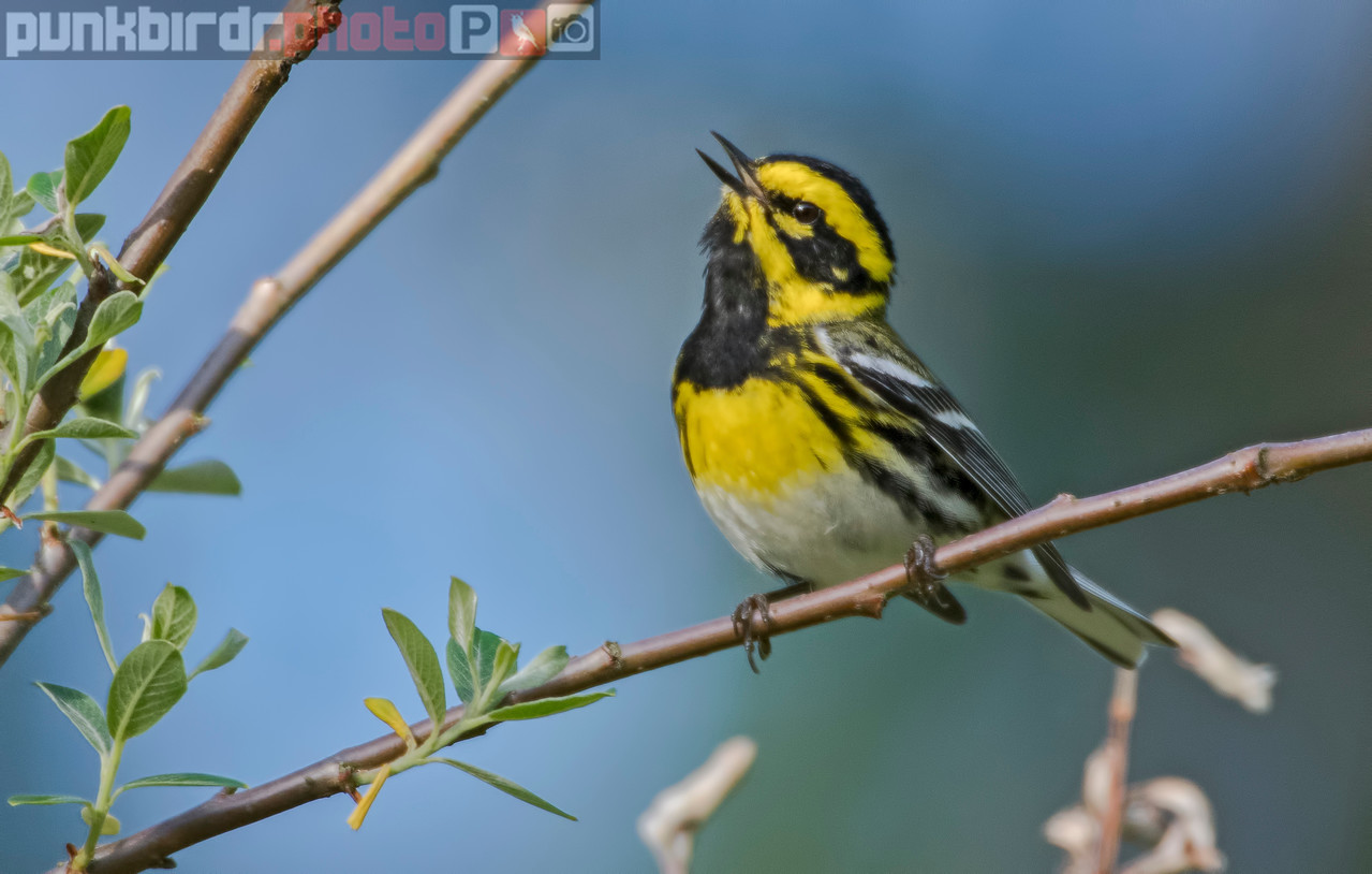 townsend's warbler (dendroica townsendi)