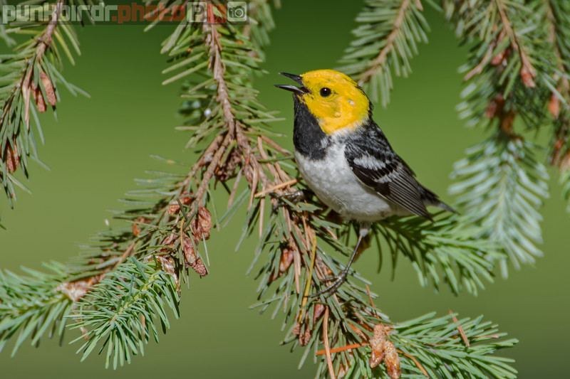 hermit warbler (setophaga occidentalis)