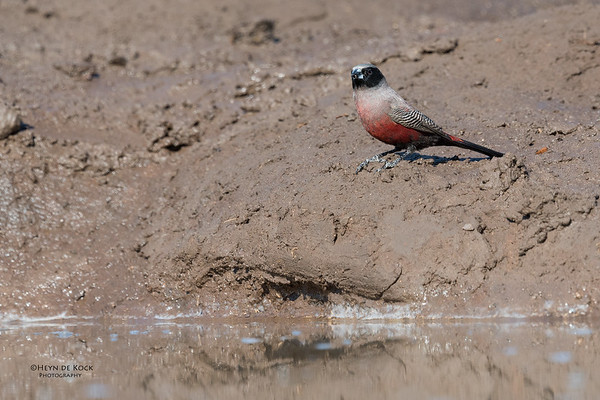 Black-faced Waxbill, Mashatu GR, Botswana, May 2017-2