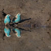 Blue Waxbill, Mashatu GR, Botswana, May 2017-1
