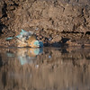 Blue Waxbill, Mashatu GR, Botswana, May 2017-2