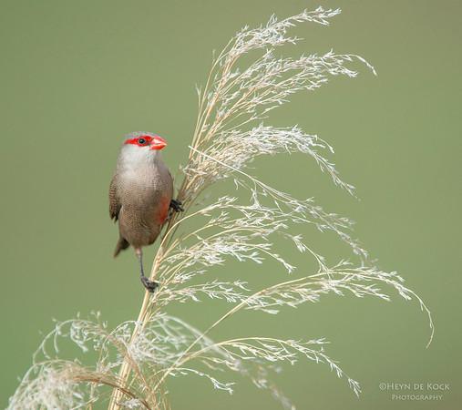 Common Waxbill, Pilansberg National Park, SA, Dec 2013-2