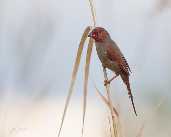 Crimson Finch, Victoria River, NT, Sept 2010