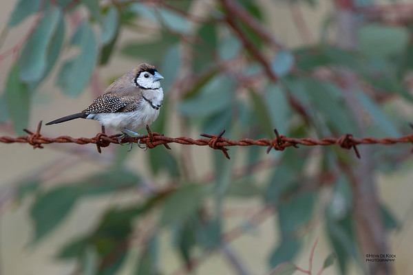 Double-barred Finch, Capertee Valley, NSW, Sep 2013-1