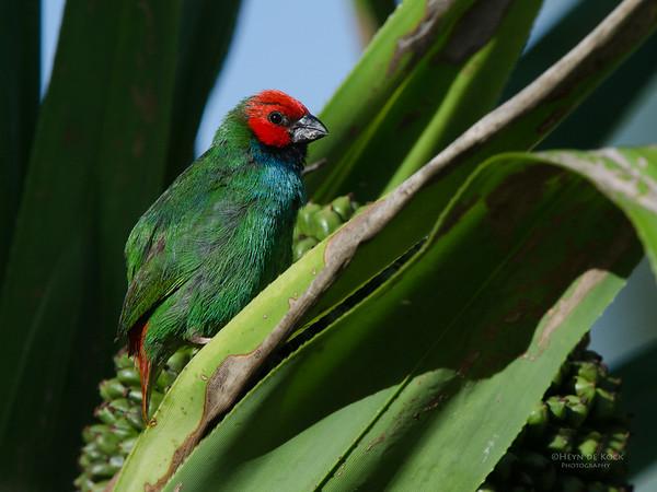 Fiji Parrotfinch, Nandi, Fiji, Dec 2011-2