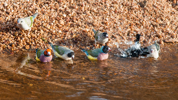 Gouldian Finches, Kathrine, NT, Sept 2010