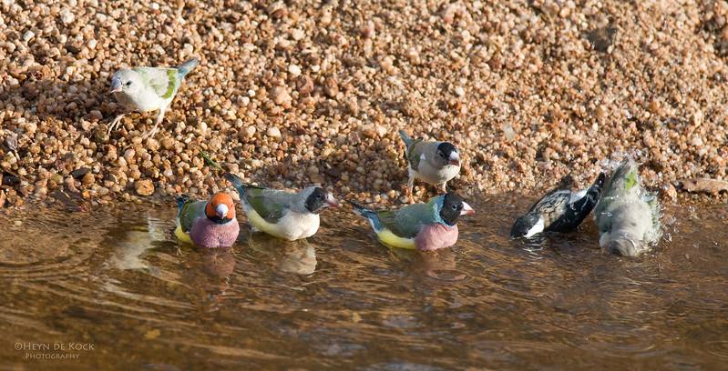 Gouldian Finches, Edith Falls, NT, Aus, Sep 2010-1