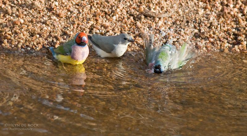 Gouldian Finches, Edith Falls, NT, Aus, Sep 2010-2