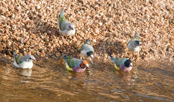 Gouldian Finches, Edith Falls, NT, Aus, Sep 2010-3