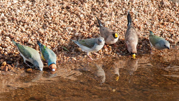 Gouldian and Masked Finches, Kathrine, NT, Sept 2010-1 jpg