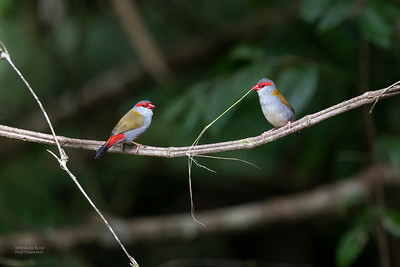 Red-browed Finch, Mt Lewis, QLD, Jan 2021-1
